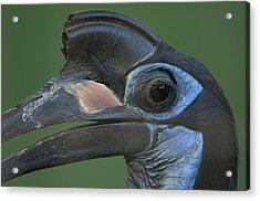 An Abyssinian Ground Hornbill Acrylic Print by Joel Sartore