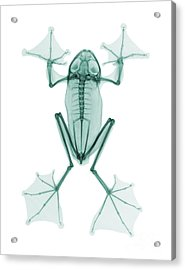 An X-ray Of A Flying Frog Acrylic Print by Ted Kinsman
