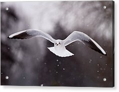 Angel - Gull In The Sky Acrylic Print by Roeselien Raimond
