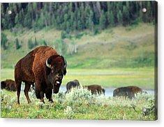 Angry Buffalo Acrylic Print by Todd Klassy