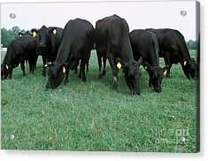 Angus Cattle Acrylic Print by Science Source