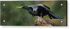 Anhinga Anhinga Anhinga, Costa Rica Acrylic Print by Panoramic Images