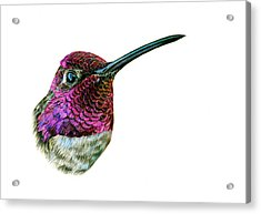 Anna's Hummingbird Acrylic Print by Logan Parsons