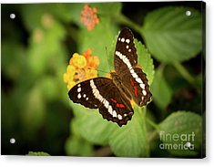 Another Day, Another Butterfly Acrylic Print by Ana V Ramirez