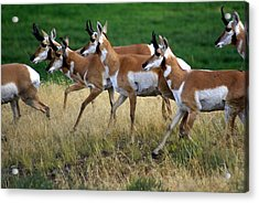 Antelope 1 Acrylic Print by Marty Koch