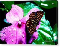 Antillean Crescent Butterfly On Impatiens Acrylic Print by Thomas R Fletcher
