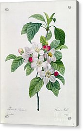 Apple Blossom Acrylic Print by Pierre Joseph Redoute