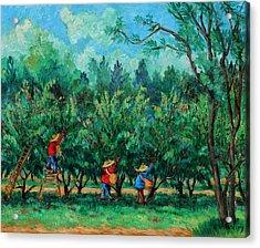 Apple Pickers  Littletree Orchard  Ithaca Ny Acrylic Print by Ethel Vrana