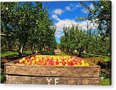 Apple Picking Season Acrylic Print by Catherine Reusch  Daley