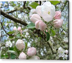 Apple Tree Blossoms Art Prints Apple Blossom Buds Baslee Troutman Acrylic Print by Baslee Troutman