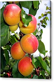 Apricots Acrylic Print by Will Borden