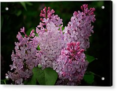 April Lilacs Acrylic Print by Tikvah's Hope