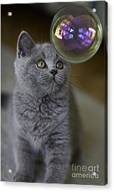 Archie With Bubble Acrylic Print by Avalon Fine Art Photography