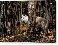 Arctic Wolf In Forest Acrylic Print by Michael Cummings