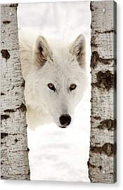 Arctic Wolf Seen Between Two Trees In Winter Acrylic Print by Mark Duffy
