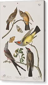 Arkansaw Flycatcher Swallow-tailed Flycatcher Says Flycatcher Acrylic Print by John James Audubon