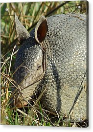 Armadillo By Morning Acrylic Print by Robert Frederick
