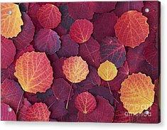 Aspen Autumn Acrylic Print by Tim Gainey