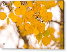 Aspen Leaves Acrylic Print by James BO  Insogna