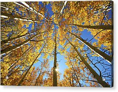 Aspen Tree Canopy 2 Acrylic Print by Ron Dahlquist - Printscapes