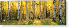 Aspen Trees In A Forest, Coconino Acrylic Print by Panoramic Images