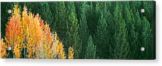 Aspen Trees In A Forest, Taggart Lake Acrylic Print by Panoramic Images