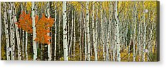 Aspen Trees In A Forest, Valley Trail Acrylic Print by Panoramic Images