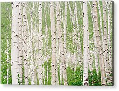 Aspen Trees Acrylic Print by Panoramic Images
