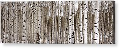 Aspens In Winter Panorama - Colorado Acrylic Print by Brian Harig
