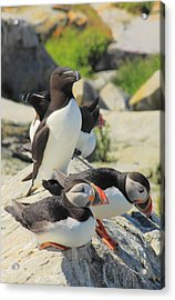 Atlantic Puffins And Razorbill Acrylic Print by John Burk