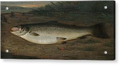 Atlantic Salmon Acrylic Print by MotionAge Designs
