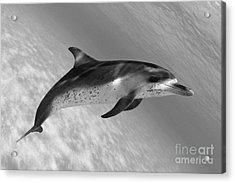 Atlantic Spotted Dolphin Acrylic Print by Dave Fleetham - Printscapes
