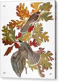 Audubon: Jay Acrylic Print by Granger