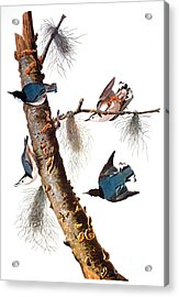 Audubon: Nuthatch Acrylic Print by Granger