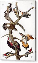 Audubon: Woodpeckers Acrylic Print by Granger