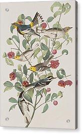 Audubons Warbler Hermit Warbler Black-throated Gray Warbler Acrylic Print by John James Audubon