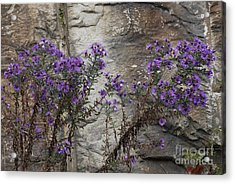 Autumn Asters Acrylic Print by Randy Bodkins