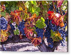 Autumn Grapes Harvest Acrylic Print by Garry Gay