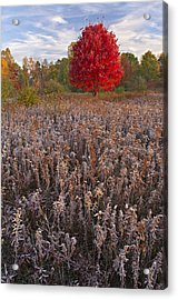 Autumn Maple In Frosted Meadow Acrylic Print by Dean Pennala
