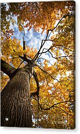 Autumn Tree Acrylic Print by Nailia Schwarz