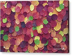 Autumnal Aspen Leaves Acrylic Print by Tim Gainey