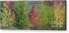 Autumnal Aspen Trees Panoramic Acrylic Print by Tim Gainey