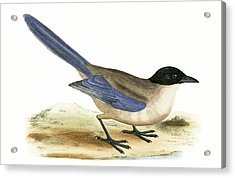 Azure Winged Magpie Acrylic Print by English School