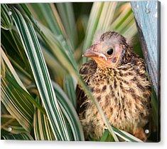 Baby Bird Peering Out Acrylic Print by Douglas Barnett