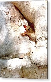 Baby Brushtail Possum 2 Acrylic Print by Darren Stein