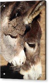 Baby Donkey Acrylic Print by Pauline Ross