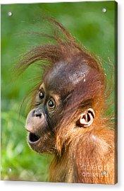 Baby Orangutan Acrylic Print by Andrew  Michael