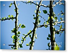 Baby Spring Tree Leaves 01 Acrylic Print by Ryan Kelly