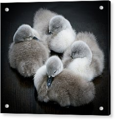 Baby Swans Acrylic Print by Roverguybm