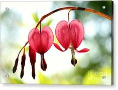 Backlight Bleeding Hearts Acrylic Print by Steve Augustin